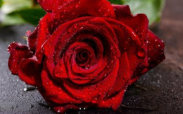 flower, drops, rose, red, bud, close-up, wet, bokeh