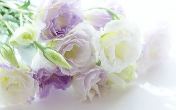 flowers, background, eustoma, white-lilac