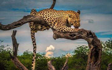 leopard, snag, wild cat