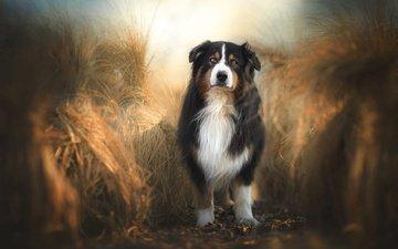 природа, фон, поле, взгляд, собака, колосья, колоски, рожь, стоит, злаки, ржаное поле