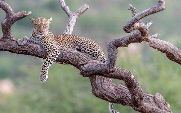 background, leopard, stay, snag, wild cat, bokeh