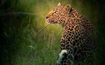 морда, трава, взгляд, леопард, профиль, дикая кошка