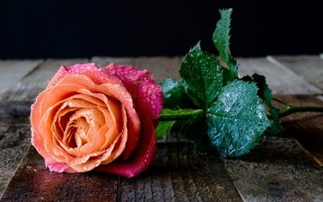 water, leaves, flower, drops, rose, board