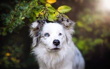 морда, ветка, природа, листья, фон, портрет, лето, взгляд, собака, ягоды, голубые глаза, белая, боке, черемуха, бордер-колли