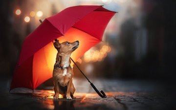 dog, rain, umbrella, doggie