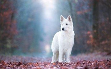 свет, природа, лес, листья, парк, поза, туман, листва, взгляд, осень, собака, белая, стоит, боке, швейцарская овчарка