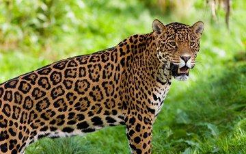 jaguar, animal