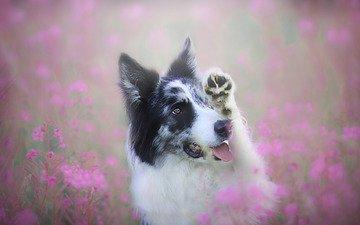 морда, цветы, поза, портрет, поле, лето, взгляд, собака, поляна, розовые, язык, лапа, бордер-колли, иван-чай