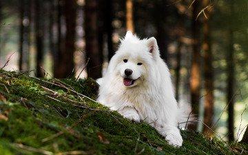nature, forest, dog, language, bokeh, samoyed