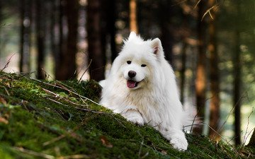 природа, лес, собака, язык, боке, самоед