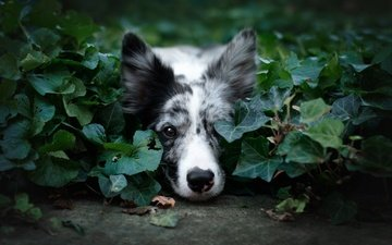 face, nature, greens, leaves, background, portrait, summer, look, dog, lies, the border collie