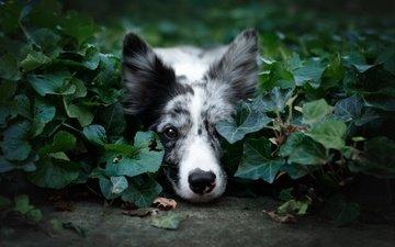 морда, природа, зелень, листья, фон, портрет, лето, взгляд, собака, лежит, бордер-колли