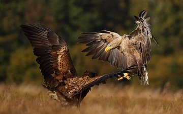 nature, autumn, birds, pair, showdown, predators, dancing, the eagles, shmantsy