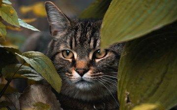 морда, листья, макро, животные, кошка, взгляд, животное, кошки, размытие, домашнее животное, скрываемся