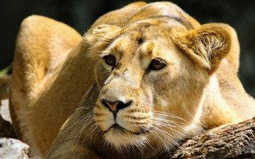 морда, поза, портрет, взгляд, лежит, темный фон, крупный план, бревно, львица, зоопарк, молодая