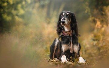 морда, природа, поза, кусты, взгляд, осень, собака, лежит, черная, ошейник, боке, борзая
