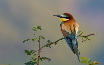 nature, branches, bird, european bee-eater