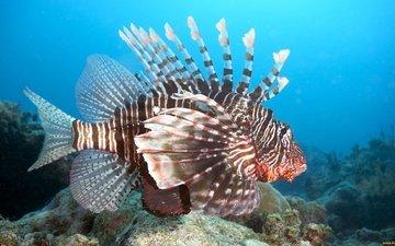 крупный план, рыбка, рыба, подводный мир, крылатка, рыба лев, крылатка-зебра