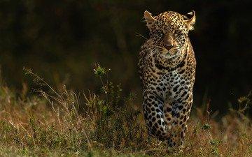 природа, фон, взгляд, леопард, прогулка, темный