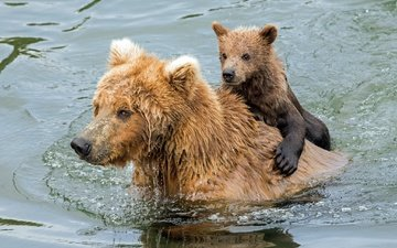 water, bathing, bears, bear, grizzly