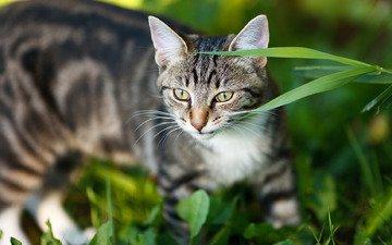 морда, трава, портрет, кот, кошка, взгляд, серый, полосатый