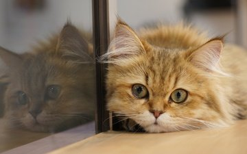 reflection, cat, muzzle, look, glass