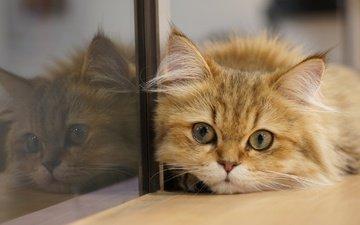 отражение, кот, мордочка, кошка, взгляд, стекло, котейка