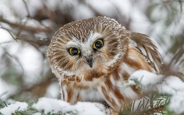 owl, snow, look, bird, tengmalm's owl