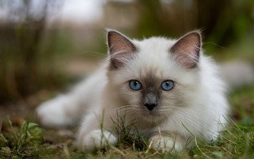 grass, muzzle, look, kitty, blue eyes, bokeh, burmese