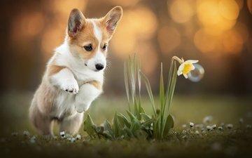 цветок, собака, корги