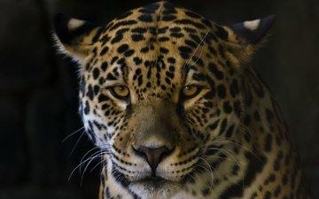 cat, look, jaguar, beast