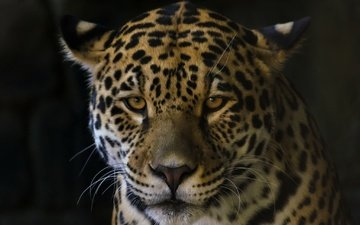 кошка, взгляд, ягуар, зверь