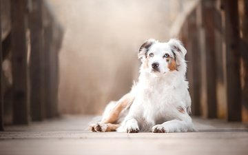 bridge, dog, bokeh, australian shepherd, aussie