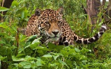 поза, взгляд, хищник, ягуар, животное