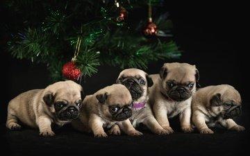 шары, настроение, ветки, взгляд, игрушка, шарики, шар, темный фон, игрушки, шарик, щенки, праздник, рождество, лапки, маленькие, мопс, вместе, родственники, щенята