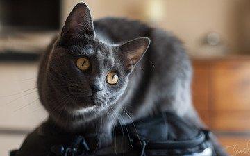 мордочка, кошка, взгляд
