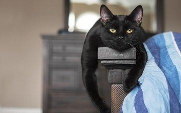 portrait, cat, paws, look, face