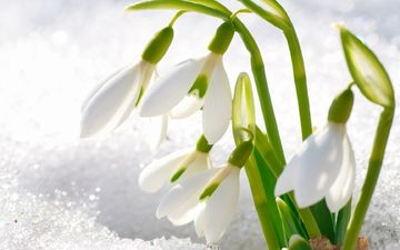 spring, first, snowdrops