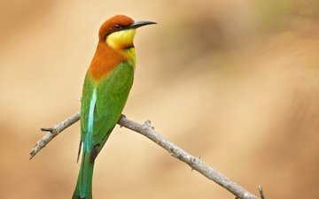 branch, background, bird, golden bee-eater