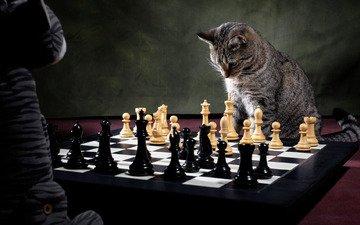 кот, шахматы, игрушка, игра, шахматная партия, шахматист