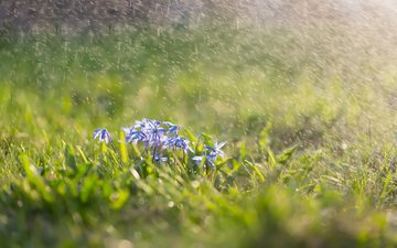 цветы, трава, брызги, весна, пролески, сциллы