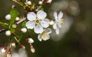 flowers, nature, flowering, macro, spring, cherry, bokeh