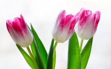 flowers, tulips, on a white background, water drops