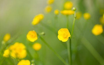 flowers, wildflowers, yellow flower, acrid buttercup