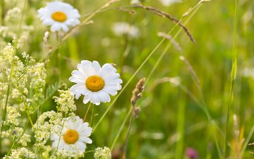 flowers, grass, chamomile, wildflowers