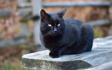 морда, портрет, кот, доска, кошка, взгляд, забор, черный, сидит, скамейка, двор, боке, размытый фон, деревянная, желтые глаза