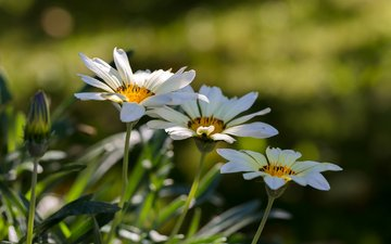 flowers, nature, summer, white, bokeh, gazania