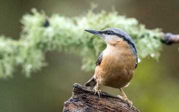 bird, snag, bokeh, nuthatch