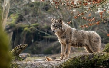 nature, pose, look, wolf