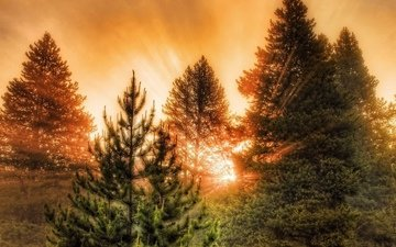 trees, forest, sunset, the rays of the sun